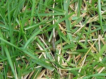 シバツトガ幼虫