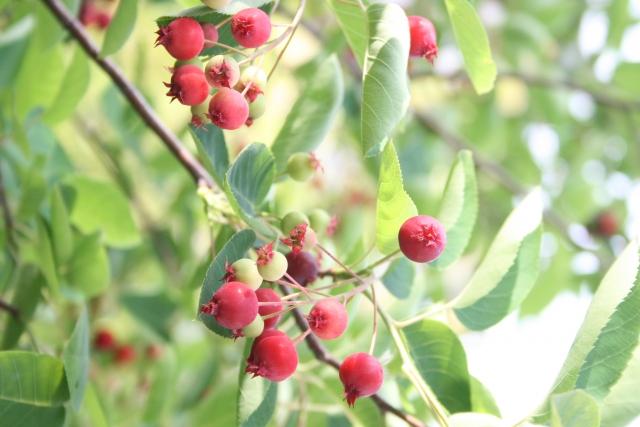 symboltree-osusume-juneberry